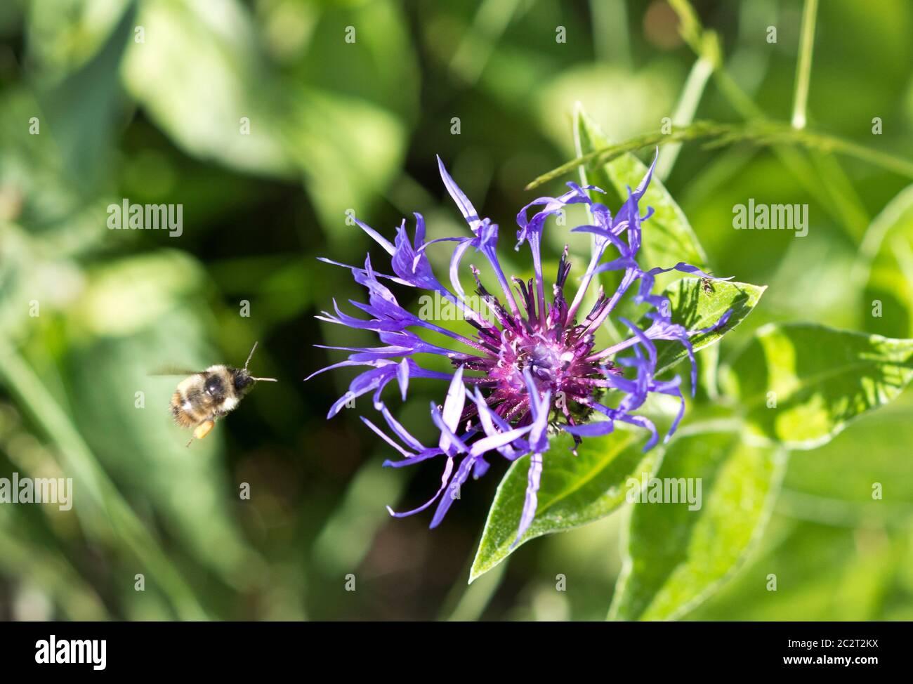 honeybee-in-motion-flying-towards-a-moun