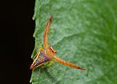 triangular-spider-arkys-walckenaeri-pemb