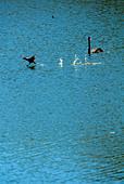 black-swan-cygnus-atratus-with-australia